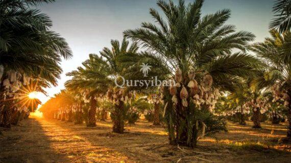 Kisah Pohon Kurma Menangis saat Rasulullah Berkhutbah